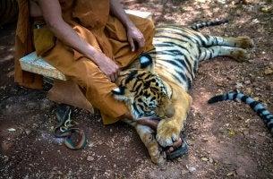 Monje con carácter con tigre