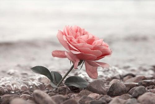 Rosa en el suelo entre piedras