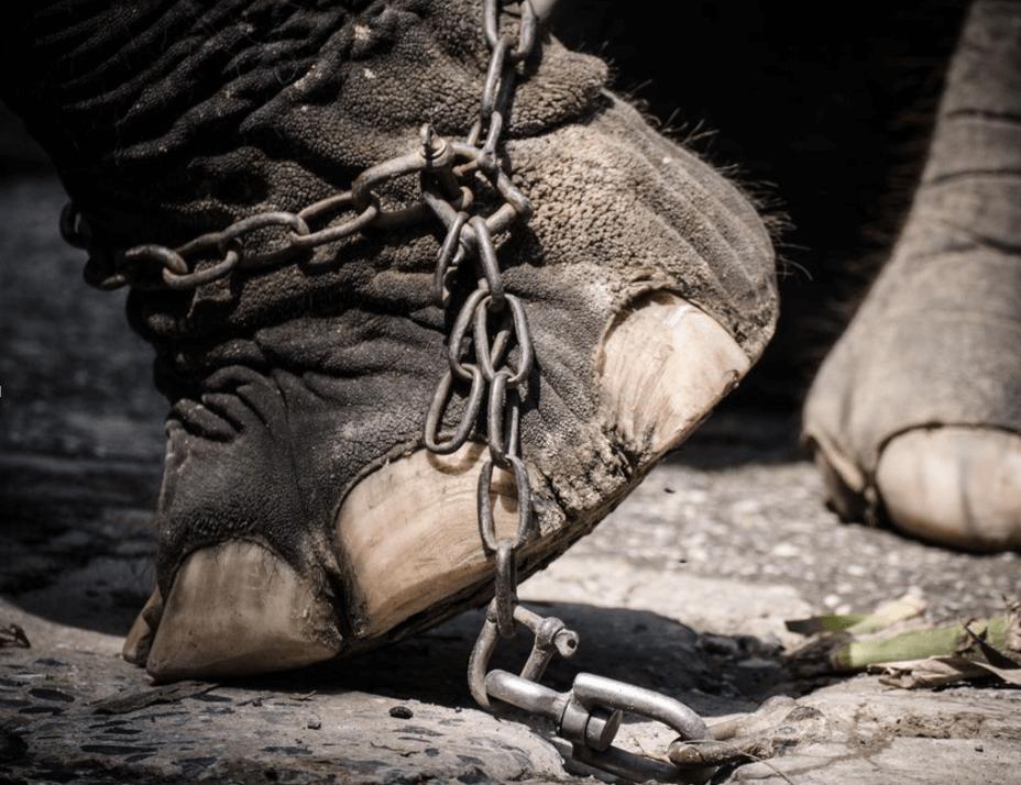 Elefante representando elefantes encadenados