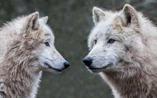 Ni perro ni lobo, psicología de un viejo indio