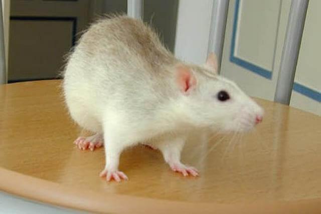 Aprendiendo de ¡las ratas!