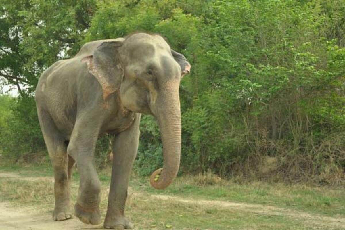 El elefante que lloró al ser liberado