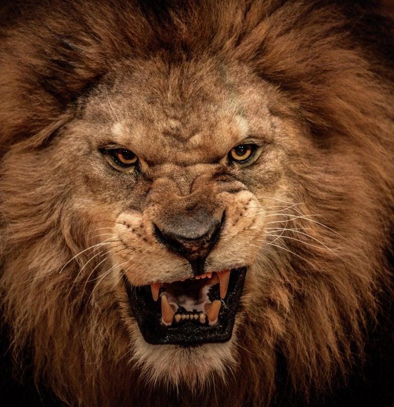 Cómo calmar al león