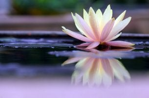 Flor de loto representando el mindfulness