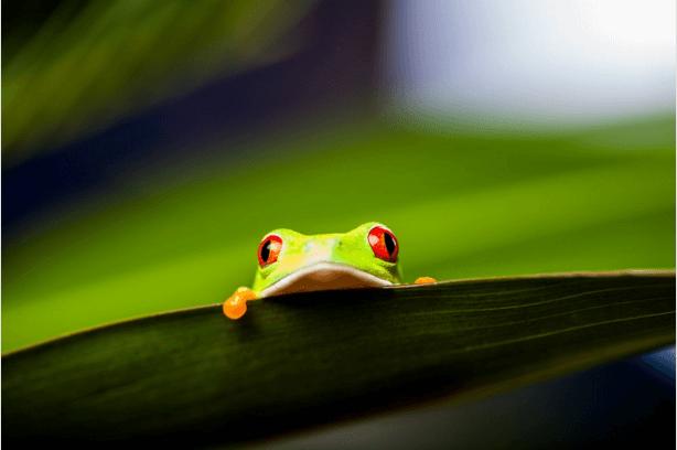 Rana de color verde y roja