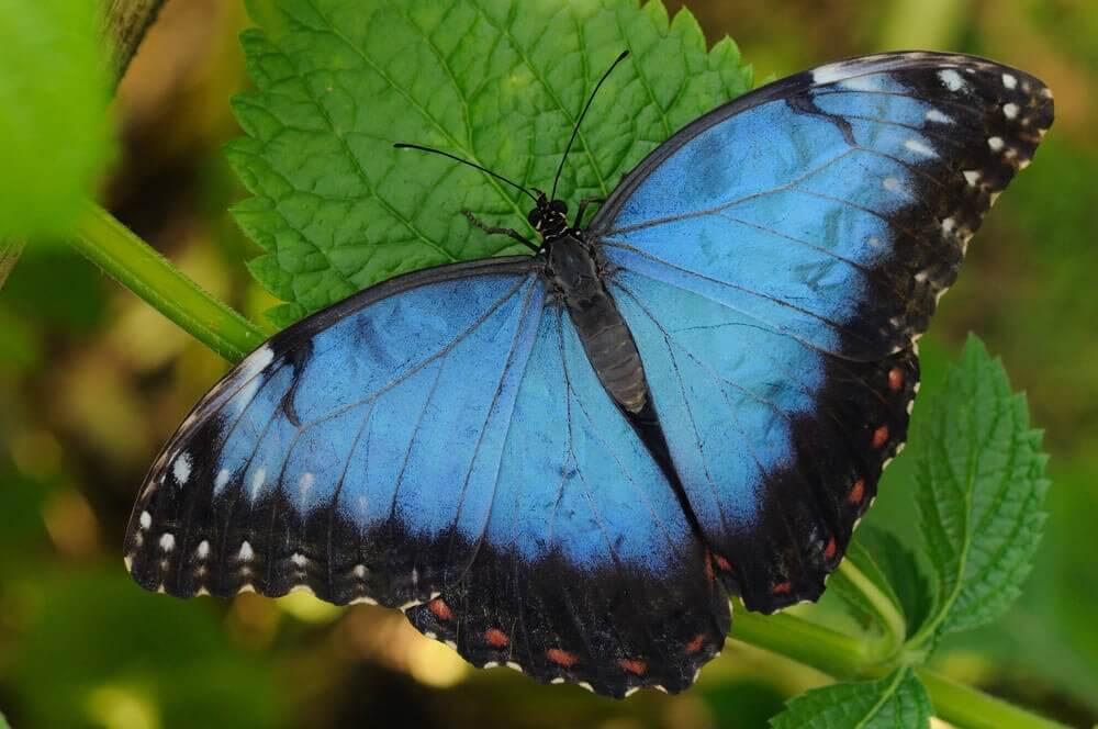 La Leyenda De La Mariposa Azul La Mente Es Maravillosa