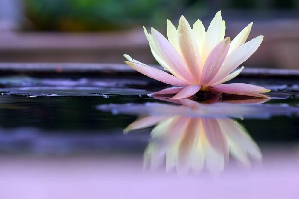 Flor de nenúfar sobre agua