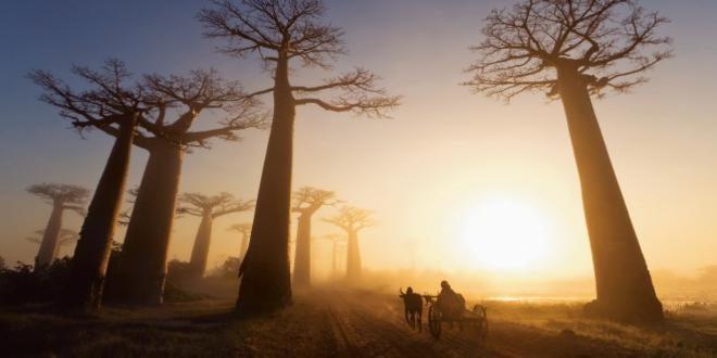 baobabs principito