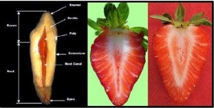 fresas y dientes