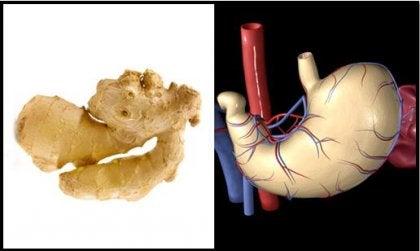 jenjibre y estómago