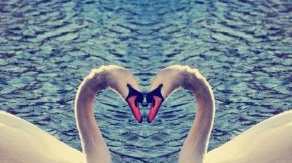 cisnes haciendo un corazón con amor