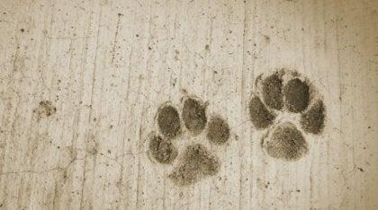 huellas de perros