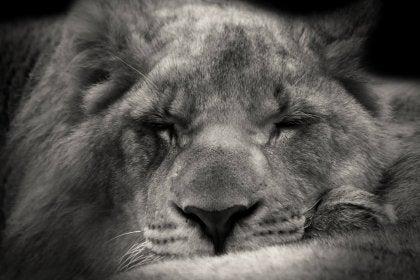 lion-610625_1920