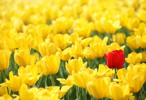 Muchos tulipanes amarillos y uno rojo