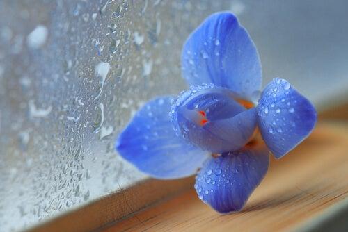 Flor azul y cristal mojado por la lluvia