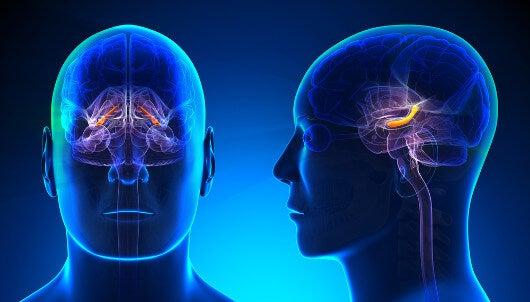 El hipocampo es fundamental en el proceso de recuperación de los recuerdos