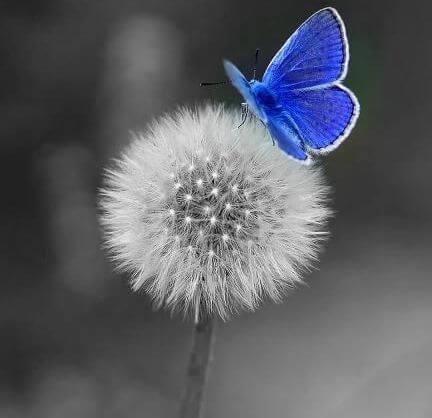 diente de leon con mariposa azul
