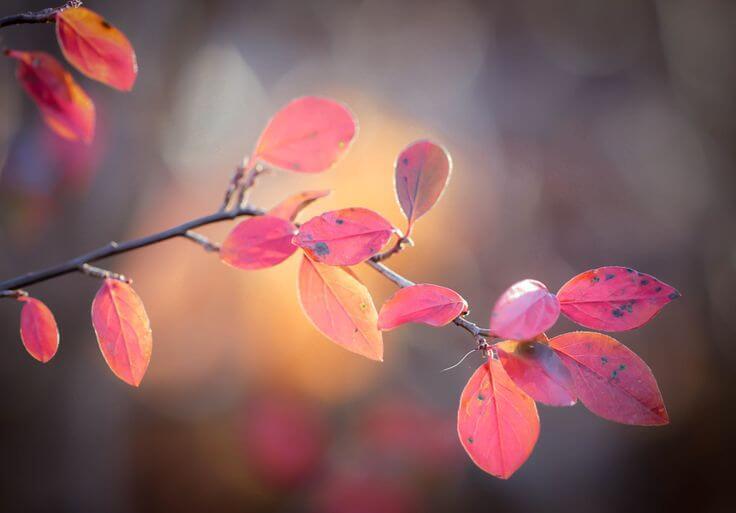 hojas rosadas