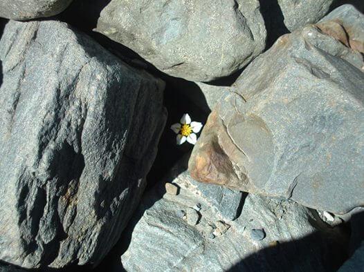Margarita nacida entre piedras
