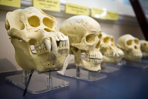 Cráneos dehomínidosp ara demostrar la teoría de Darwin