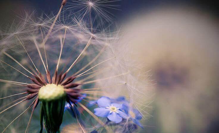 Diente de león con flor azul