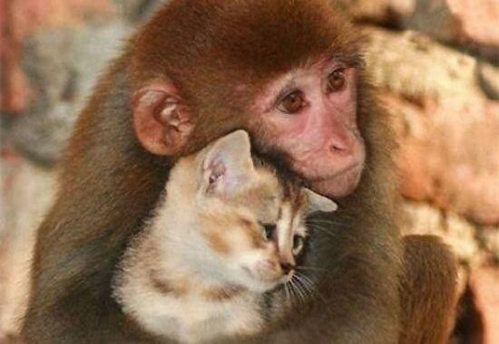 amor de un animal: mono abrazando un gato