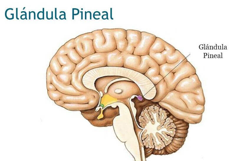 Cerebro con la glándula pineal, parte del epitálamo