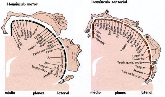 Homúnculos de Penfield