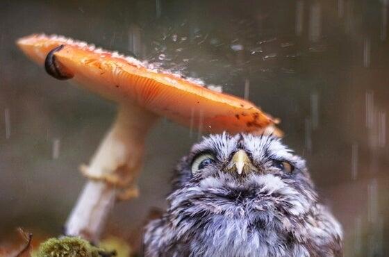 Búho bajo la lluvia