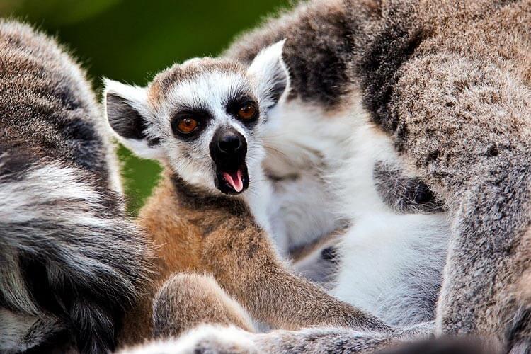 Lémur emitiendo un bostezo