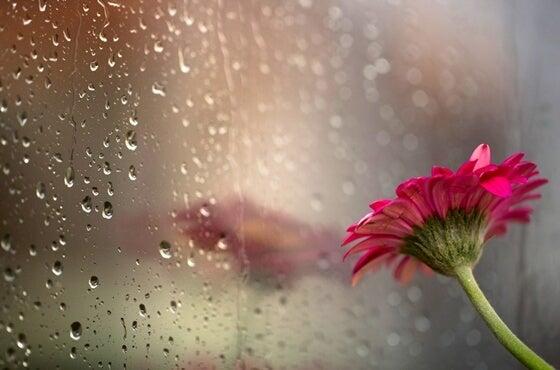 Lluvia y flor roja simbolizando las frases de Yoritomo Tashi