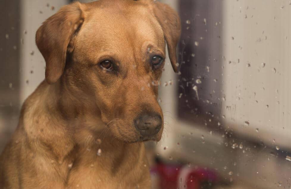 Perro con mirada triste