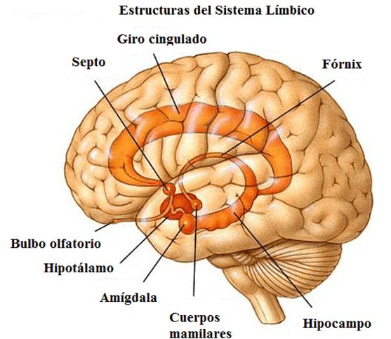 Cerebro con las estructuras del sistema límbico