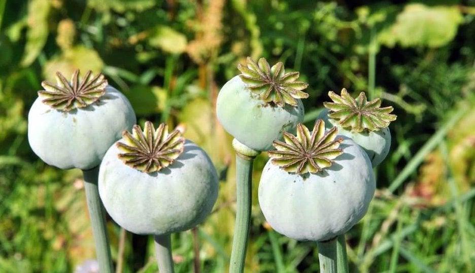 Planta de opio