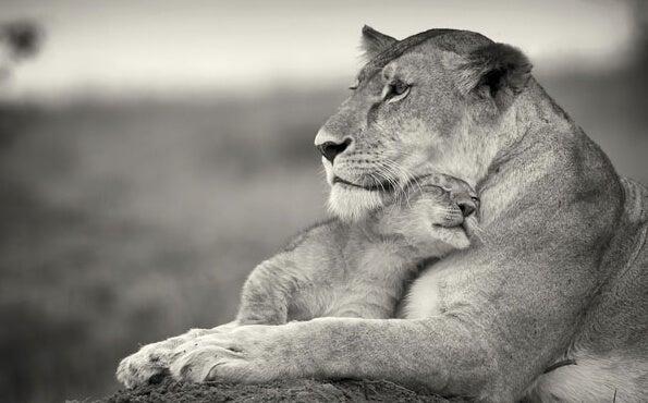 leona con su cachorro