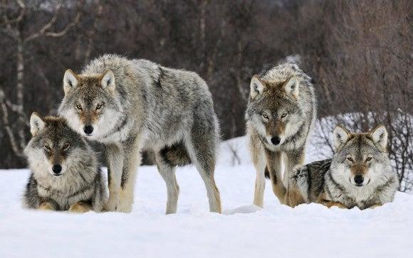 ¿Qué podemos aprender de los lobos?
