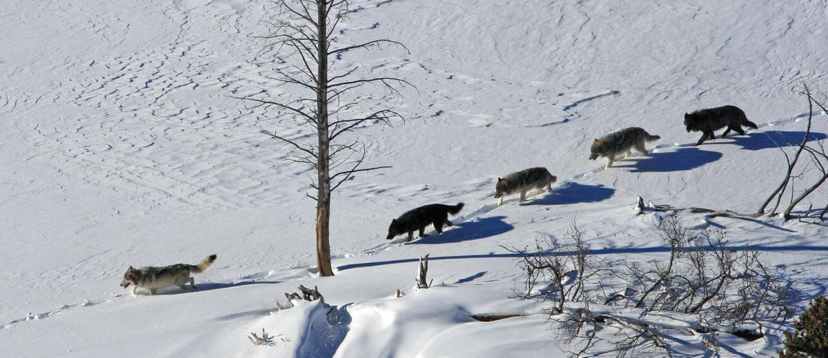 manada de lobos dando lección de humildad