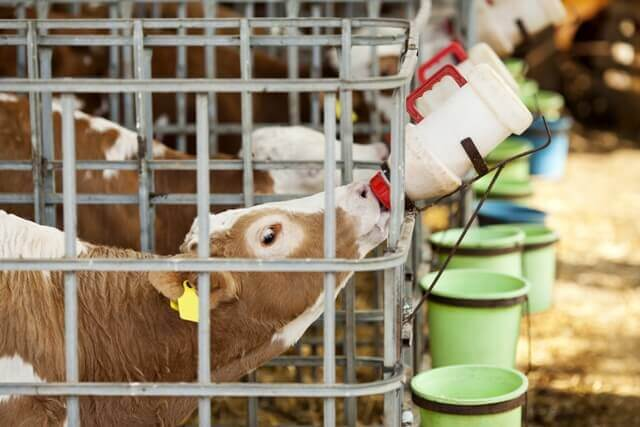 Vaca bebiendo leche de un biberón