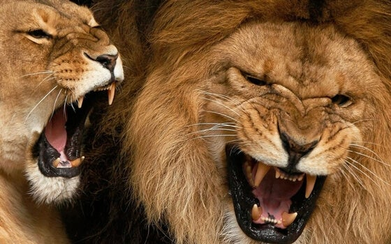 pareja de leones rugiendo con grito