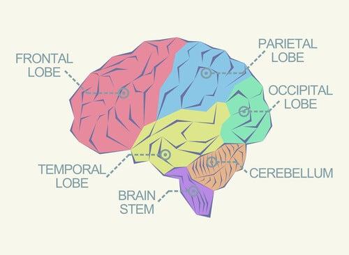 Cerebro con los lóbulos cerebrales señalados
