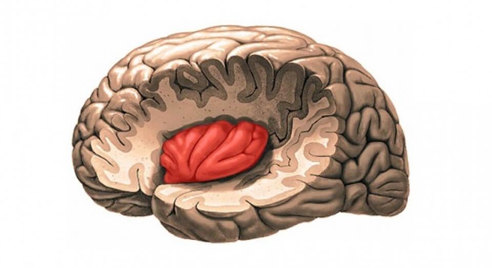 ínsula, uno de los lóbulos cerebrales