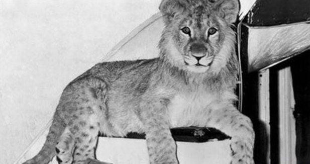 El león Christian