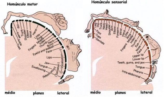 Homúnculo de Penfield: características y funciones