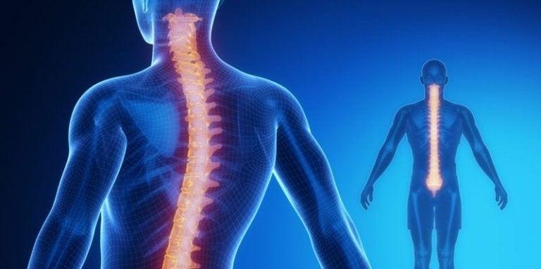 Médula espinal: anatomía y fisiología