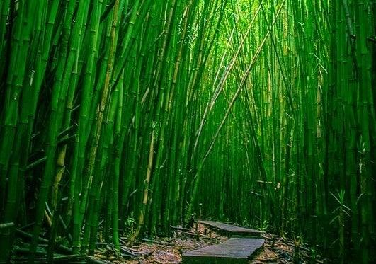bosque simbolizando cómo ser como el bambú
