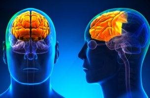 Cerebro con lóbulo frontal