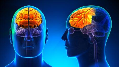 Cerebro con lóbulos frontales