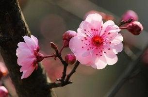 flor del cerezo representando la psicología japonesa