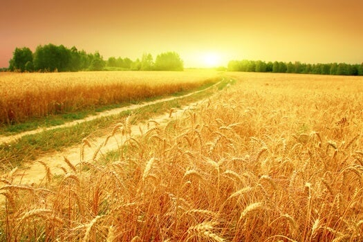 campo de trigo regado por la vasija agrietada