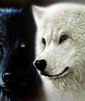 lobo blanco y lobo negro representando la leyenda cherokee de los dos lobos